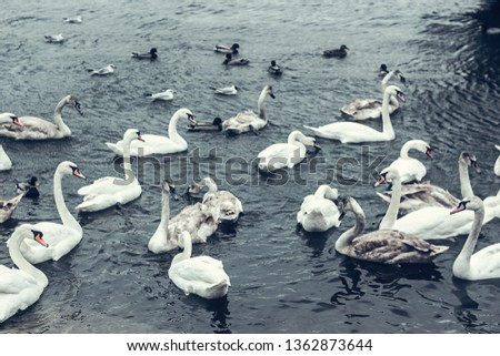 A flock of white wild swans swims in the mist through the blue pond in winter. for background. abstraction wild birds on the pond  #1362873644