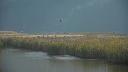 A flock of wild birds flying out of a reed growing in the bed of Olt river. Hazy autumn morning. Olt Valley, Romania.