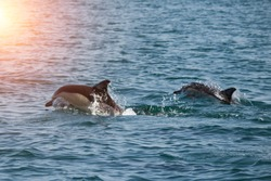 A flock of wild dolphins swim in the black sea