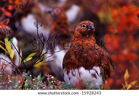A flock of Willow Ptarmigan. - stock photo