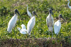 A flock of wood storks in the grasslands of the Pantanal in Brazil. The wood stork is a large American wading bird in the stork family Ciconiidae.