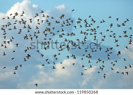 A flock off golden plover bird in the sky