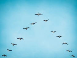 A flock (skein) of Canada geese flying in V formation for effective energy conservation. Vintage look. Leadership effectivity teamwork. Location: Lund, southern Sweden.