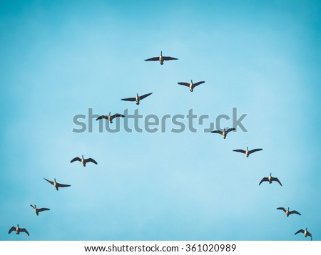 A flock (skein) of Canada geese flying in V formation for effective energy conservation. Vintage look. Leadership effectivity teamwork. Location: Lund, southern Sweden.\n