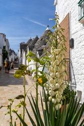 A flourishing yucca next to tradtional white houses in Trulli village. Alberobello, Italy.