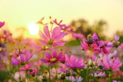 A flower background picture of colorful cosmos flower garden in the evening sunset.