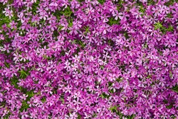 A flower bed with bright pink subulate phloxes. Low-growing flowers for garden decor