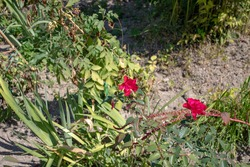 a flower bush with red blossoms blooms. The bud opens and blooms into small red flower. Time lapse of a blooming flower bush. Detailed macro time lapse of blooming flowers. small red flowers