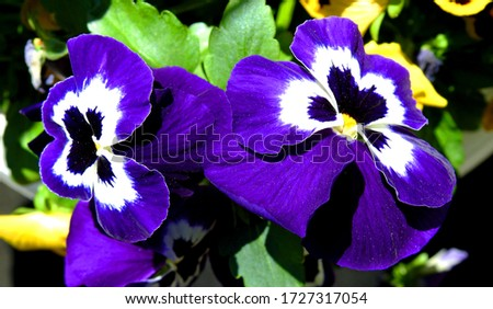 a flower called a garden violet or pansy growing in a home garden in the city of Bialystok in the Podlasie region in Poland Zdjęcia stock ©
