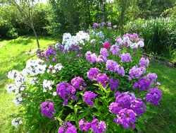 A flowerbed with Garden phlox (Phlox paniculata) in July.