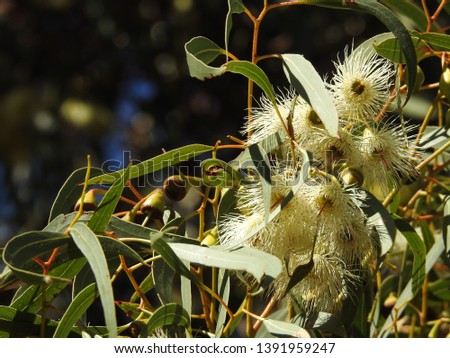 A flowering gum tree with stunning delicate soft white flowers contrasts beautifully against the dense oval green leaves and softness of a blurred background. #1391959247