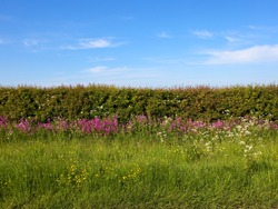 a flowering hawthorn hedgerow with white blossom in a grass verge with red campion cow parsley buttercups and crosswort under a blue sky in Summer