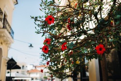 A flowering tree in the old city of Zakynthos. Flowers in a city on the island of Zakynthos