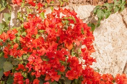 A flowers of red climbing bougainvillea on the background of a shell rock