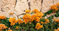 A flowers of yellow climbing bougainvillea on the background of a shell rock
