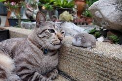 A fluffy cat looking at a tiny hamster walking in the garden