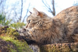 A fluffy, female cat on a tree trunk stretches and claws on the bark of a cut-down oak, to sharpen her claws, in a home garden in the South of France