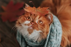 A fluffy ginger cat in a blue scarf with an autumn maple leaf on its head.