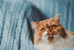A fluffy ginger cat sits on the background of a blue knitted plaid. Playful cat copy space.