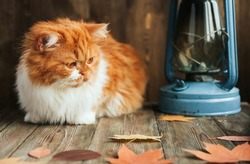 A fluffy ginger kitten sits on an old wooden table and looks at the autumn leaves. Antique kerosene lamp.