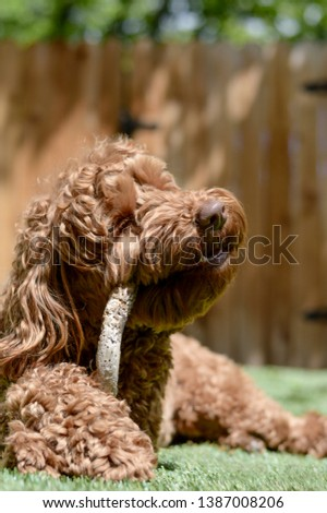 A fluffy labradoodle dog (or goldendoodle) is chewing on a stick in total happiness, while lying on a lawn on a sunny day in the spring or summer. This canine has healthy teeth. #1387008206
