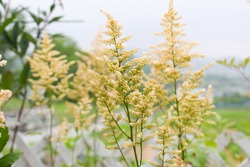 A fluffy leaf is an astilbe flower. The  light green color is dreamy.