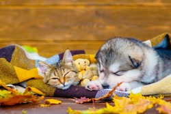 A fluffy puppy lies next to a tabby kitten under a plaid blanket next to a teddy bear. A kitten with a puppy sleeps wrapped in a checkered blanket