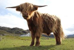 a fluffy shetland cow enjoying on green land in Scotland