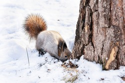 A fluffy squirrel searches for food under the snow in a winter forest next to a thick tree.