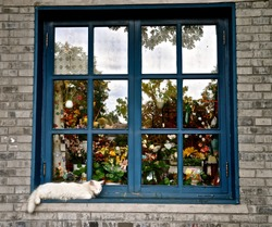 A fluffy white cat sleeping infront of the colourful shop window, with blue wooden frames.