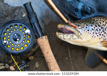 A fly fisherman\'s freshly caught brown trout, shallow depth of field, focus on the fish.