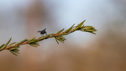A fly landed on an evergreen with a Bokeh background.