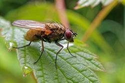 A fly on a raspberry leaf.