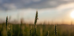 A fly sits on an ear of wheat or rye. Close-up of green ears of wheat or rye at sunset in a field. World global food with sunset in farm land autumn scene background. Happy Agricultural countryside.