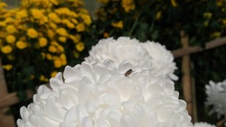a fly that approaches a blooming flower