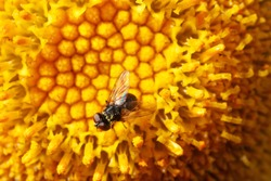 A fly with pollen on the abdomen on a yellow flower.
