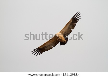 A flying cape vulture photographed from below