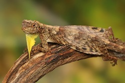 A flying dragon (Draco volans) is sunbathing on a vine branch before starting its daily activities.