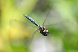A flying dragonfly