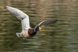 A flying duck lands on the river.