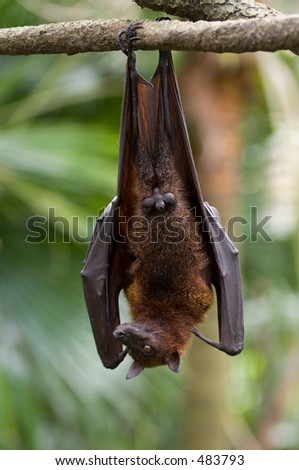 A flying fox hangs upside down from a branch