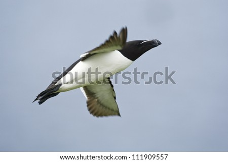 A flying razorbill, Norway