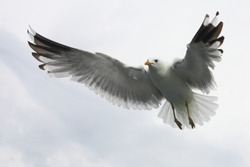 A flying seagull, looks a bit like an angel.