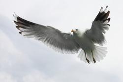 A flying seagull, looks a bit like an angel.