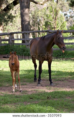 a foal is walking off while the mare turns it head and sticks it tongue out