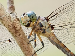 A Focus Stacked Extreme Closeup Image of a Blue Dasher Dragonfly Perched on a Dead Tree Branch