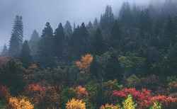 A foggy cloud cover over the changing fall / autumn leaves in the Wasatch Mountains of utah.