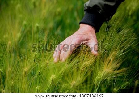 a fond memory of green barley Stock photo ©