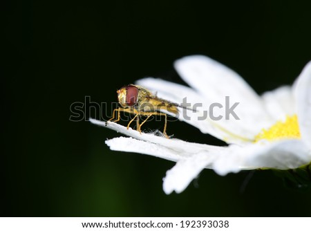 A food aphid fly isolated on white flowers