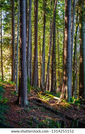 A footpath in autumn forest with straight trunks, light coming through the foliage is a great place for lovers of an active healthy lifestyle for hiking through the fresh air saturated with oxygen #1314255152